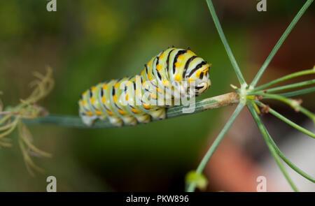 (Caterpillar) Tiger Swallowtail-Pterourus glaucus caterpillar - Stock Photo