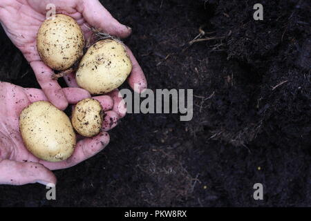 A pair of male gardener's hands holding some potatoes, freshly dug from earth. Close up photograoh with copy space, soil background - Stock Photo