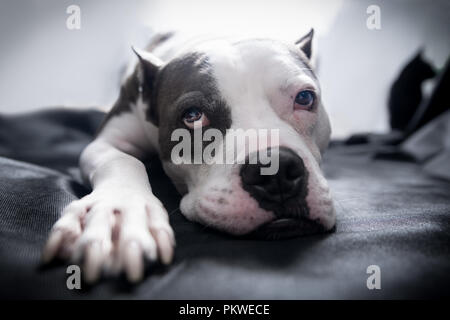 Portrait Of An American Bully Dog Breed Stock Photo