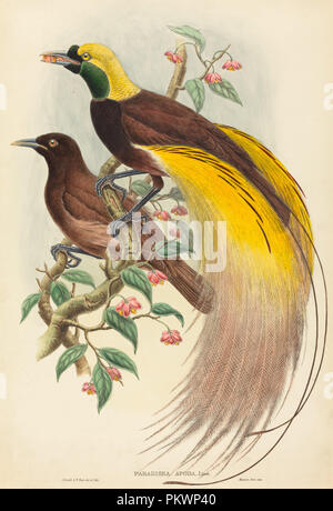 Bird of Paradise (Paradisea apoda). Dated: published 1875-1888. Dimensions: sheet: 55.9 x 38.7 cm (22 x 15 1/4 in.). Medium: hand-colored lithograph on wove paper. Museum: National Gallery of Art, Washington DC. Author: John Gould and W. Hart. GOULD, JOHN. - Stock Photo