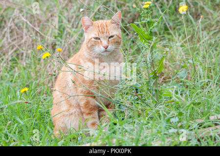 street tabby cat, orange street cat, short hair, notch in the ear to indicate that they are castrated - Stock Photo