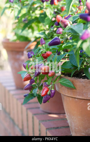 Capsicum annuum. Chilli pepper 'Loco' fruit growing in pots at RHS Wisley  gardens. - Stock Photo