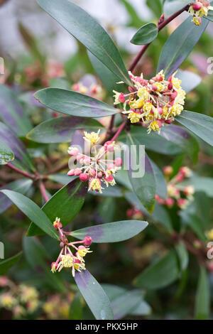 Tasmannia lanceolata flowers.Mountain pepper plant. - Stock Photo