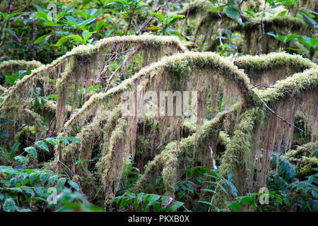 Dense moss clings to a vine maple (Acer circinatum) in an old growth forest in the HJ Andrews Experimental Forest, Oregon. - Stock Photo