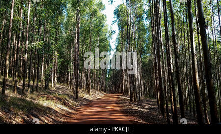 Way in the eucalyptus forest in red soil. Brazil South America. - Stock Photo