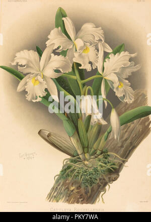 Cattleya Rochellensis. Medium: color lithograph. Museum: National Gallery of Art, Washington DC. Author: Gustav Leutzsch after Charles Storer. - Stock Photo
