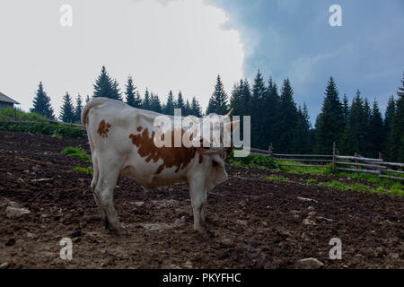 cow on a farm in the mountains before milking after grazing - Stock Photo