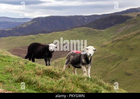 Herdwick Ewe with her Lamb on Knott Rigg Lakeland Fell, Lake District, Cumbria, UK - Stock Photo