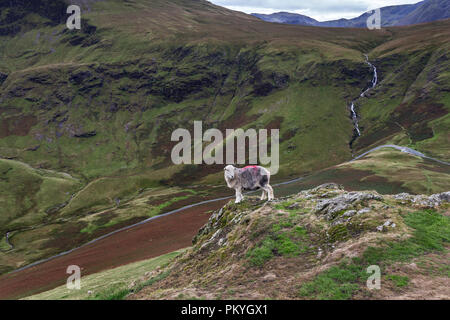 Herdwick Sheep on Knott Rigg, With Moss Force Behind, Lake District, Cumbria, UK - Stock Photo