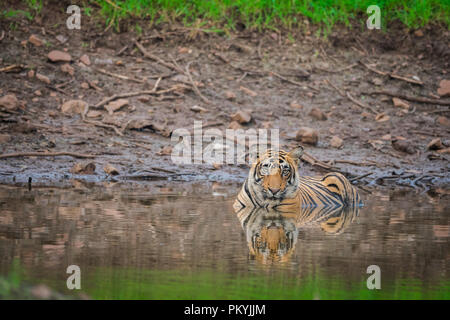 A male tiger resting in monsoon rains and lush green park at ranthambore national park - Stock Photo