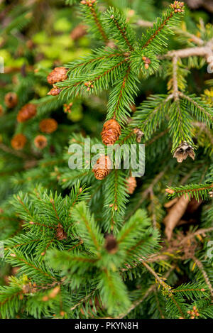 Picea abies Pusch- the Norway spruce is a species of spruce native to Northern, Central and Eastern Europe. - Stock Photo