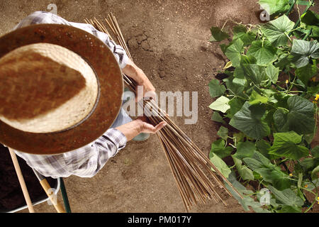 man farmer working in vegetable garden with bamboo sticks for tie the plants, top view and copy space template - Stock Photo