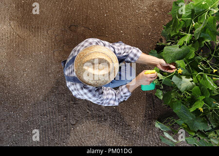 man farmer working in vegetable garden, pesticide sprays on plants, top view and copy space template - Stock Photo