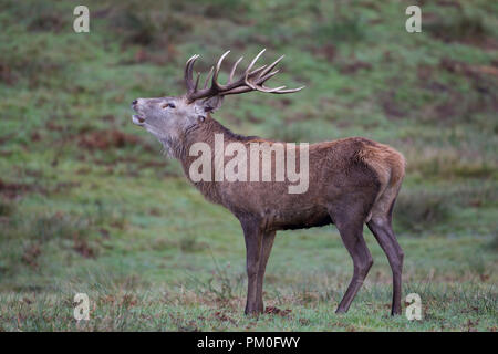 Male Red Deer Cervus elaphus with magnificent antlers calling in Autumn - Stock Photo