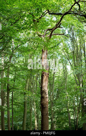 In a canopy of green looking up at a single tree trunk amongst many other trees in a forest/ woods in Highgate, London UK - Stock Photo