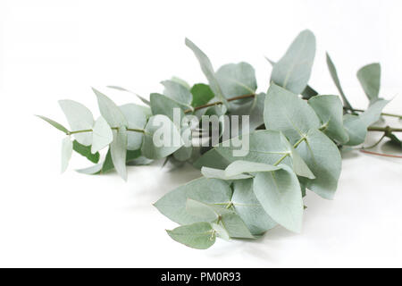 Closeup of green eucalyptus leaves branches on white table background. Floral composition, feminine styled stock image. Selective focus. - Stock Photo