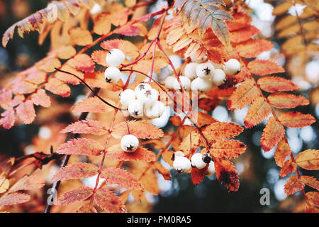 Closeup of autumn red colored leaves and white berries of Chinese rowan tree, Sorbus koehneana in nature. Selective focus. - Stock Photo