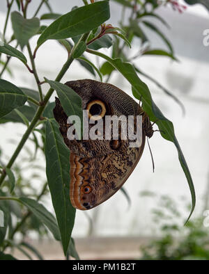 A Forest Giant Owl Butterfly, Caligo eurilochus resting on a Bamboo leaf at St Andrews Botanic Garden Butterfly House. Fife, Scotland. - Stock Photo