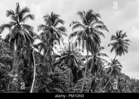 Black & White Image of Palm Trees in the Rainforest of Bohol.  Taken on a Loboc River Cruise in the Philippines. - Stock Photo
