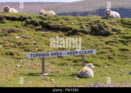 Sheep lie next to a sign indicating the turning area at the end of the road at Hermanness, on the island of. Unst, the most northerly road in Britain