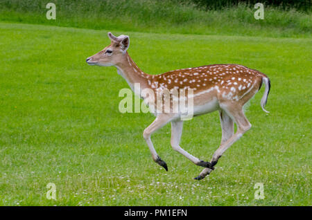 A side view of a fallow deer as it runs on the grass in the meadow - Stock Photo