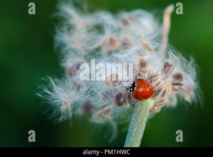 red ladybug crawling on stem of plant - Stock Photo