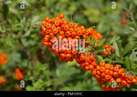 scarlet firethorn (Pyracantha coccinea), St. Peter-Ording, Schleswig-Holstein, Germany - Stock Photo