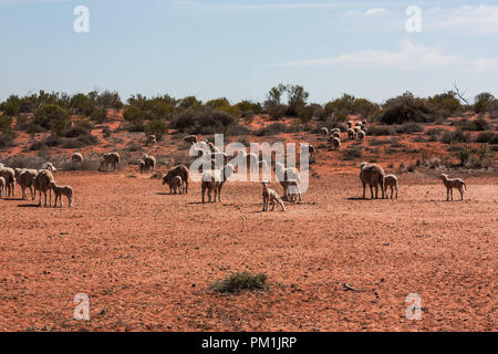 Group of sheeps in Outback Australia - Stock Photo