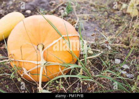 Big orange pumpkins growing in the garden, harvest season - Stock Photo