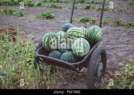 harvest of watermelons in a cart, harvest season - Stock Photo