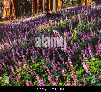 Lupin, Redwood Mountain, Kings Canyon National Park, California - Stock Photo