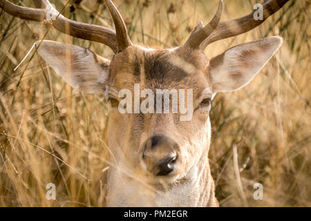 London, UK. 17th Sep 2018. Deer pictured in Richmond Park, West London as mixed weather is forecast as we head into Autumn. Credit: Oliver Dixon/Alamy Live News - Stock Photo