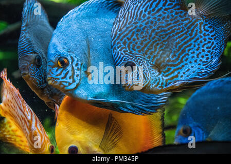 Colorful discus (Symphysodon aequifasciatus) fish, a tropical freshwater species from the Amazon River Basin, at the Georgia Aquarium in Atlanta. - Stock Photo