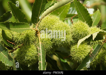 A branch of Chestnuts on a Sweet Chestnut Tree (Castanea sativa) in the UK. - Stock Photo