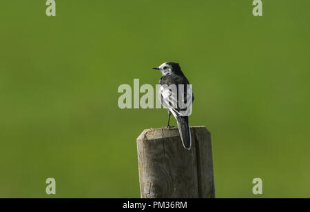 A beautiful Pied Wagtail (Motacilla alba) perching on a post against a green background. - Stock Photo