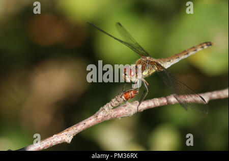 A hunting Common Darter Dragonfly (Sympetrum striolatum) perched on a twig at the edge of woodland. - Stock Photo