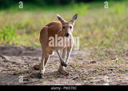 Young kangaroo in a natural habitat in grass - Stock Photo