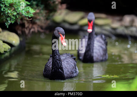Two black swan in lake - Stock Photo