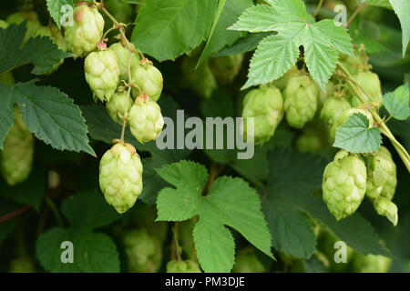 Wild hops in autumn shortly before harvesting - Stock Photo
