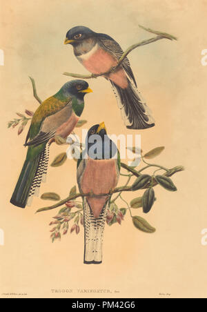 Trogan variegatus. Dated: probably 1836/1838. Medium: hand-colored lithograph. Museum: National Gallery of Art, Washington DC. Author: John Gould and W. Hart. - Stock Photo