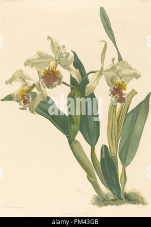 Cattleya Rex. Medium: lithograph. Museum: National Gallery of Art, Washington DC. Author: Gustav Leutzsch after Henry George Moon. - Stock Photo