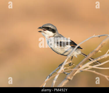 Profile portrait of a Southern Grey Shrike at sunset perched on a branch in bush with beak open with simple background - Stock Photo