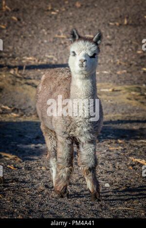 Cute baby alpaca lamp portrait in Bolivia - Stock Photo