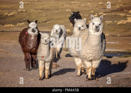 Group of curious alpacas in Bolivia - Stock Photo