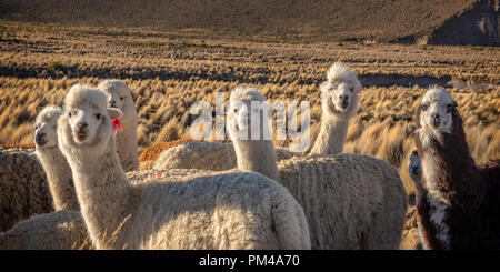 Herd of curious alpacas in Bolivia - Stock Photo