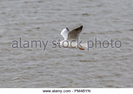 An adult black-headed gull in winter plumage in flight in Keyhaven Marshes, Hampshire, UK - Stock Photo