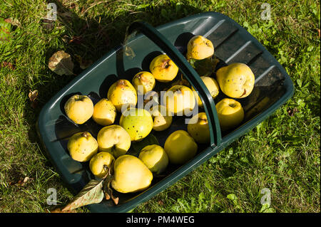 A green trug filled with freshly picked quince fruit home-grown in an English garden in UK (Cydonia oblonga Meech''s Prolific) - Stock Photo