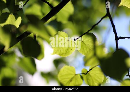 leaf tree background backlight sunlight - Stock Photo