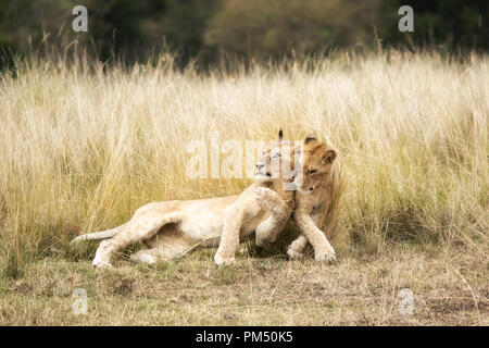 A pair of playful lion cubs in the long grass of the Masai Mara, Kenya. - Stock Photo