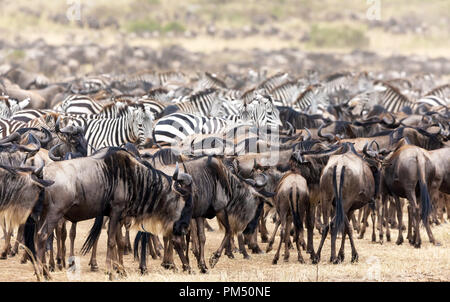 Herds of wildebeest and zebra gather in the Masai Mara during the annual great migration in Kenya - Stock Photo